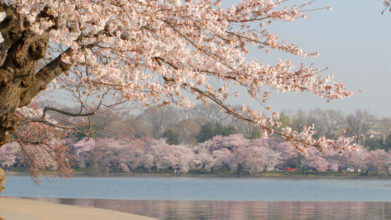cherry blossom trees at tidal basin in DC