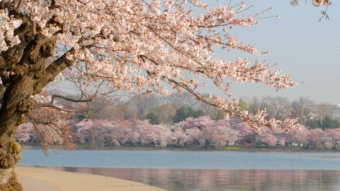 cherry blossoms in bloom along the potomac river